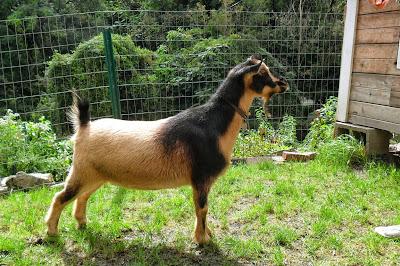 Love Song the Nigerian Dwarf Goat at Arlington Acres Farm
