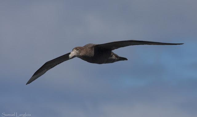 Resultado de imagen de  albatro cisne