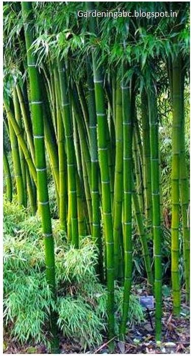 Growing Bamboo Plants How To Create A
