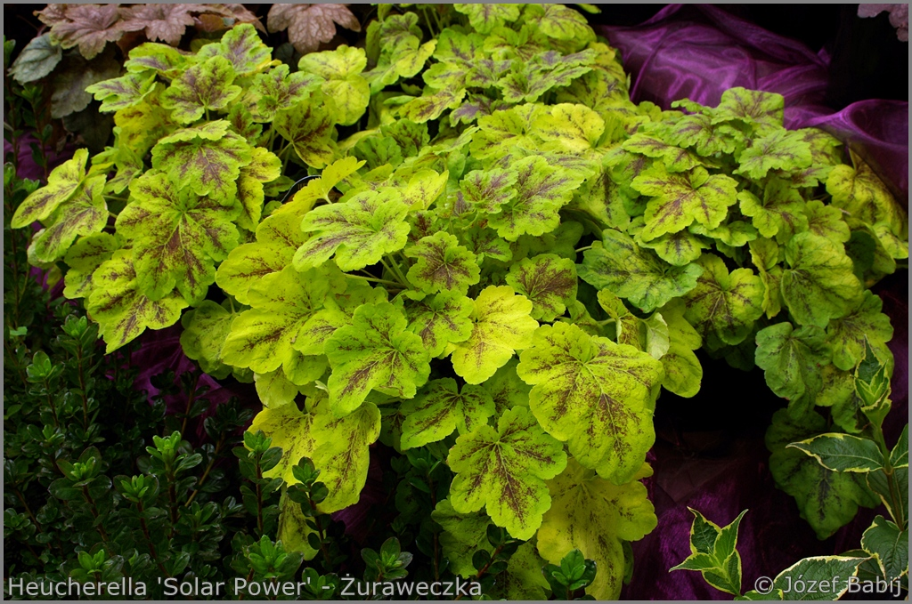 Heucherella 'Solar Power' - Żuraweczka 'Solar Power'