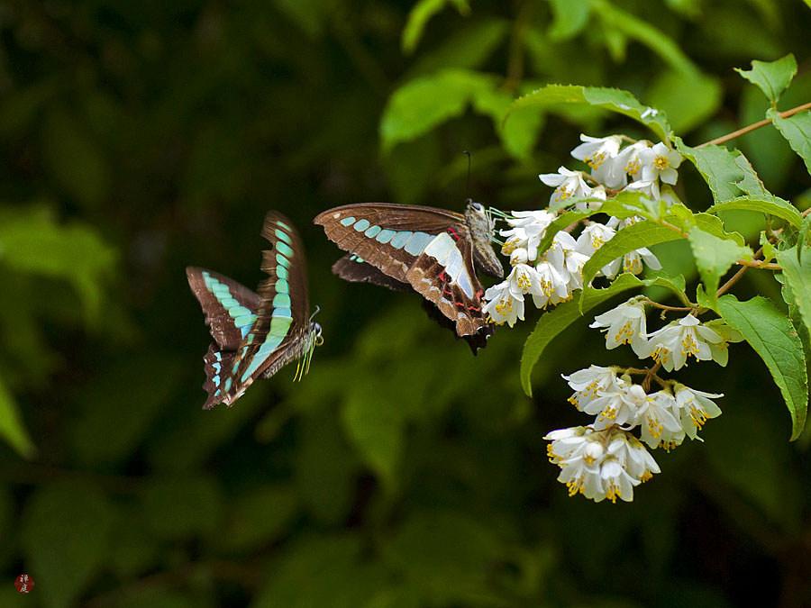 From The Garden Of Zen Aosuji Ageha Graphium Sarpedon Butterflies In Kencho Ji