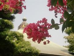鎌倉のサルスベリ