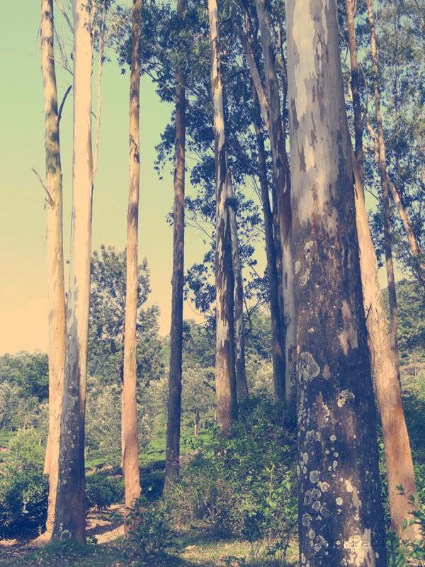 Eucalyptus trees in Kerala country side