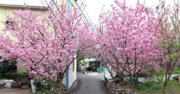 台中沙鹿|沙鹿賞櫻秘境,8棵花開滿滿的粉紅富士櫻隱藏在巷子裡,免費參觀