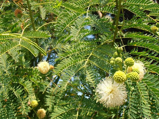 LEUCAENA: Leucaena leucocephala