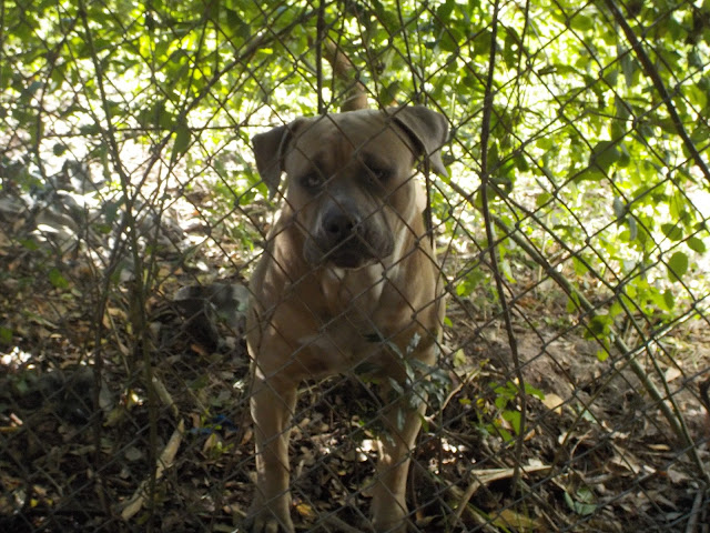 Brown pit bull dog behind chain link fence