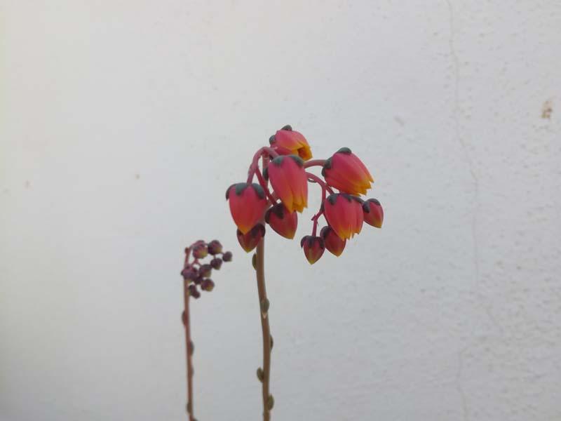 Fiore dell'echeveria