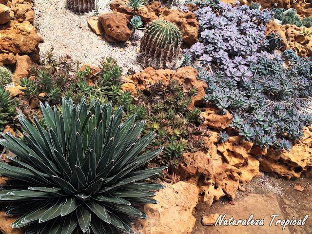 El Agave de la Reina Victoria (Agave victoriae-reginae) en un jardín xerófilo