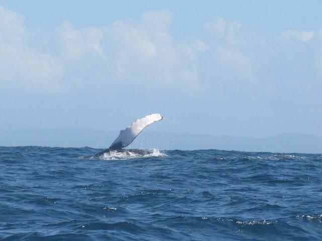 sainte marie madagascar humpback whale slapping water