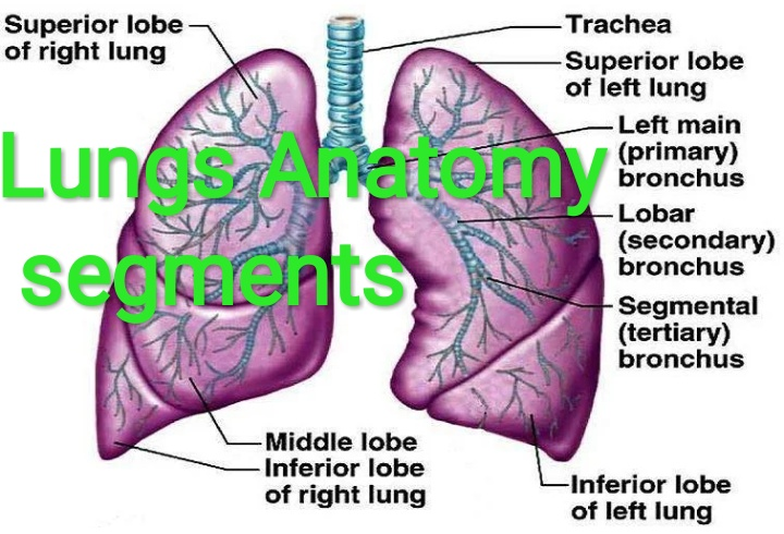 Healthcare And Health Solution Lung Anatomy Segments Structure
