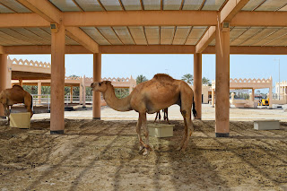 photograph of a camel in Bahrain's royal camel farm blog