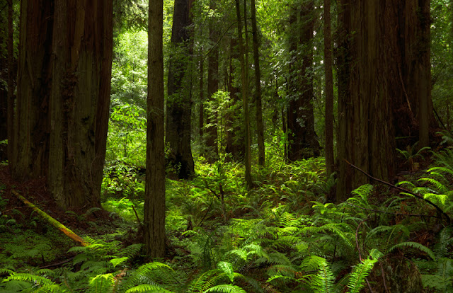 Large Spear Ferns blanket the forest floot as giant redwood trees reach for the sky, as the soft sunlight filters down