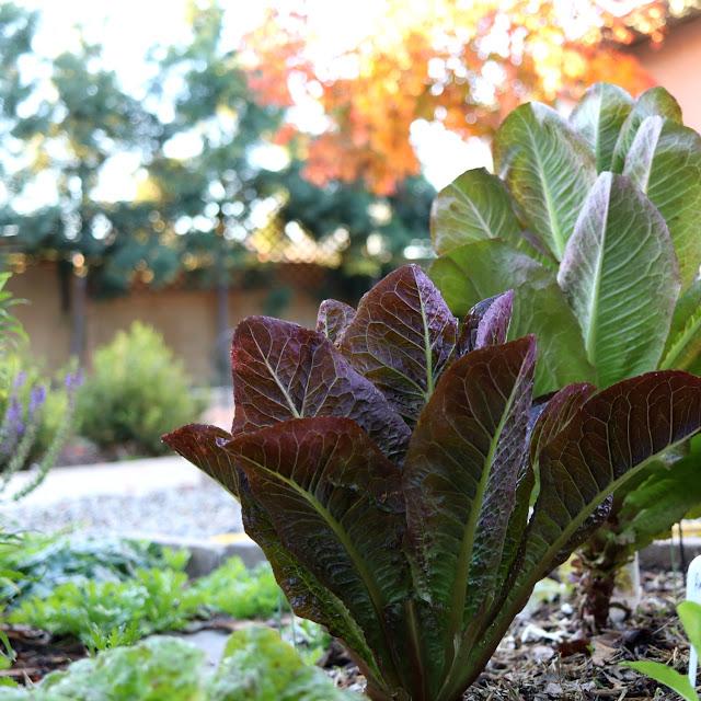 romaine lettuce growing