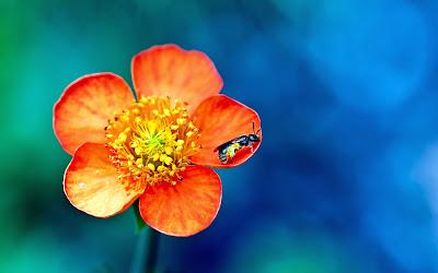 صور ورد وأزهار مميزة pollen_overdose-wide