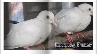 Cara beternak burung puter dan cara merawatnya