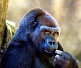 Gorila, por Kabir