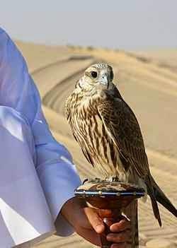 الصقر الحر Saker Falcon