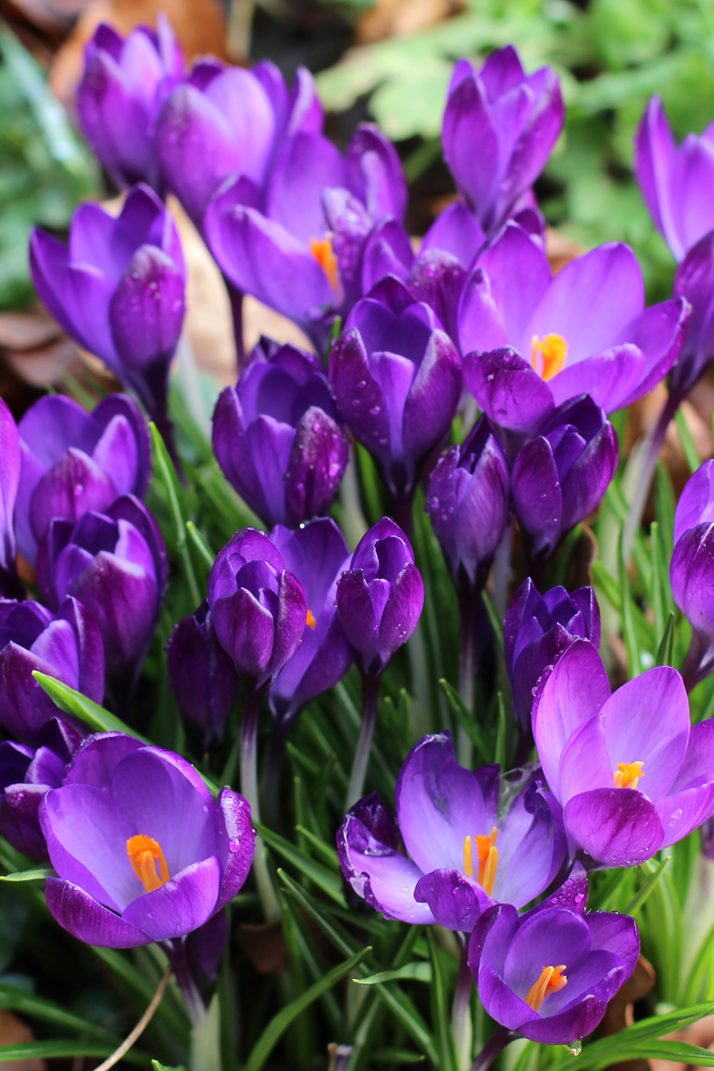 Purple crocuses in the British countryside - UK luxury travel blog