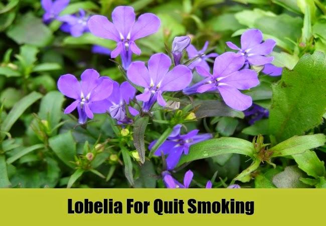 Lobelia Tea Benefits Healthy Tea 101