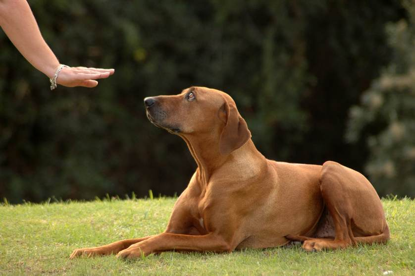 Dog-Training-Down-and-Stay-Command