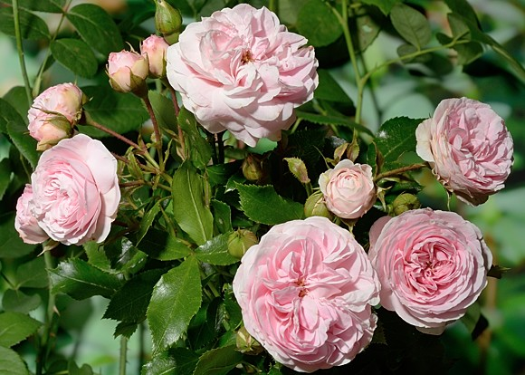 Larissa rose сорт розы фото