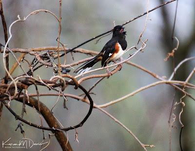 male eastern towhee singing