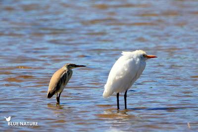 Garcilla cangrejera (Ardeola ralloides) y garcilla bueyera (Bubulcus ibis). Blue Nature