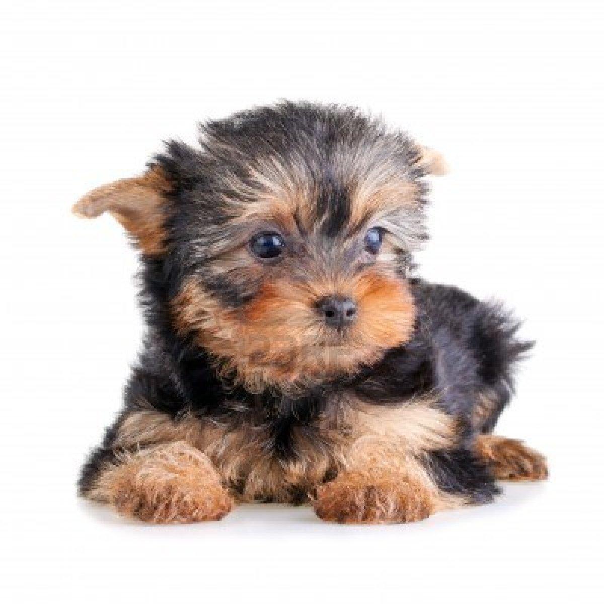 Colorear Perro Yorkshire Terrier O Yorkie Con Hueso