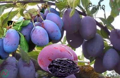 prune fruit; prune
