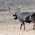 Filadélfia: Criminosos matam gado, roubam carne e deixam carcaça na zona rural