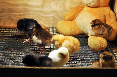 Двухдневные цыплята
