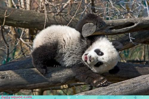 Very Funny All Wallpaper: Funny panda face