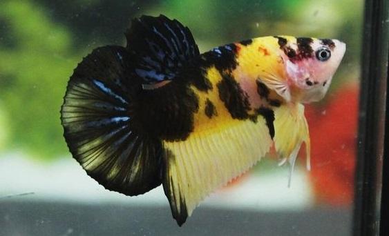 Ikan Cupang Koi Tiger Yellow- Ikanhiasku.net