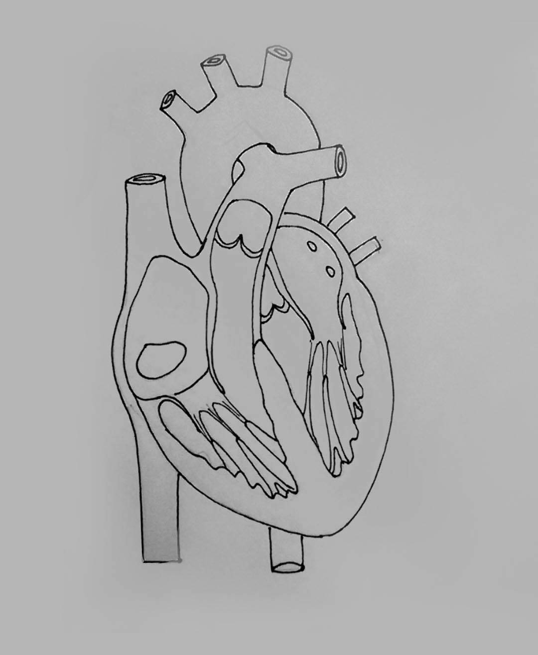 heart diagram outside veins and arteries in the neck draw it neat how to internal structure of mammalian