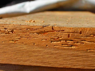 mengatasi-kumbang-bubuk-kayu.jpg