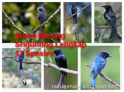 Download Suara Burung Srigunting Mp3 Lengkap