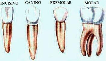 Dibujo de diferentes dientes para niños