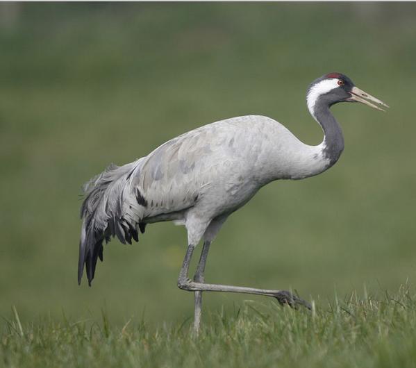 Sarana's Gift: It changes everything!: Symbolism: Cranes