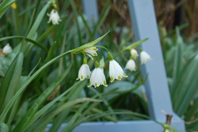 voorjaarstuin Leucojum  bloembollen