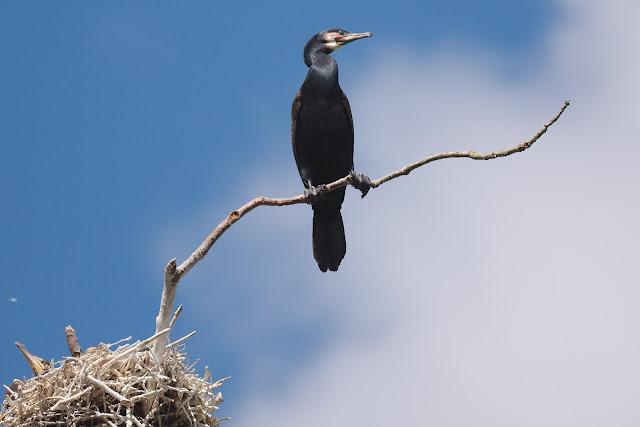 Kormoran sitzt nahe seines Nestes auf einen Ast