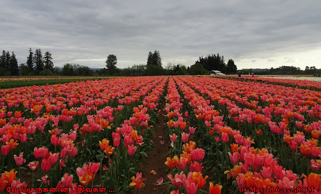 Woodburn Tulip Festival Oregon