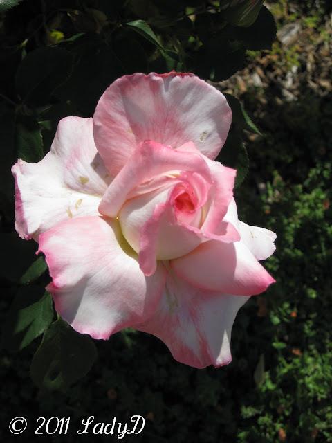 Beautiful pink rose: LadyD Books