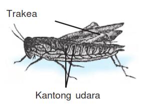 penjelasan tentang alat pernapasan amfibi, hewan dengan pernapasan trakea dan kuli