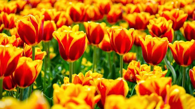 Papel de Parede Flores Tulipas flowers wallpaper hd image free