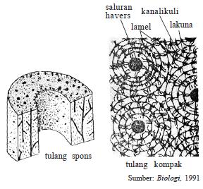 Tulang Rawan (Kartilago) dan Tulang Keras (Osteon)