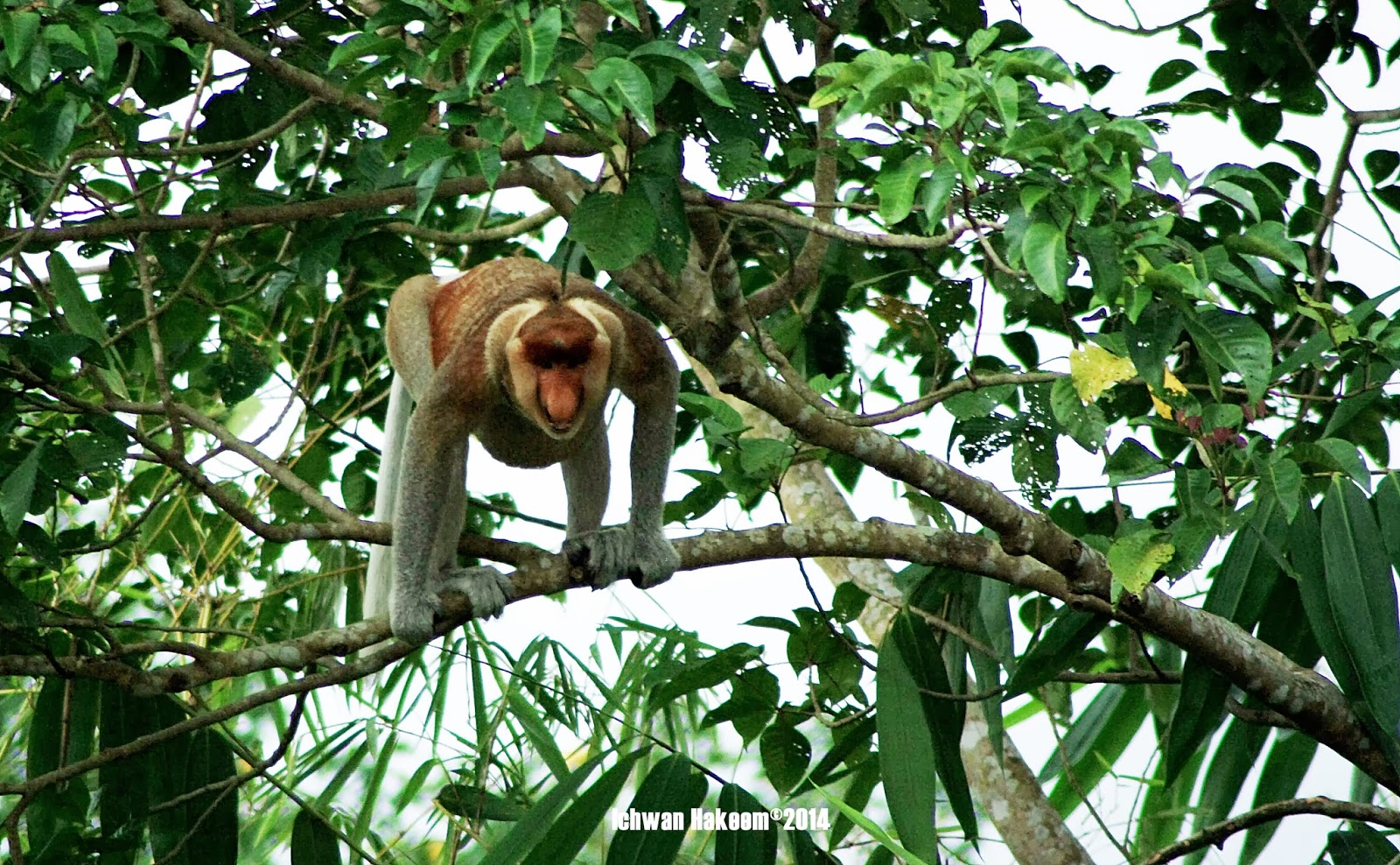 Bekantan, Proboscis monkey male