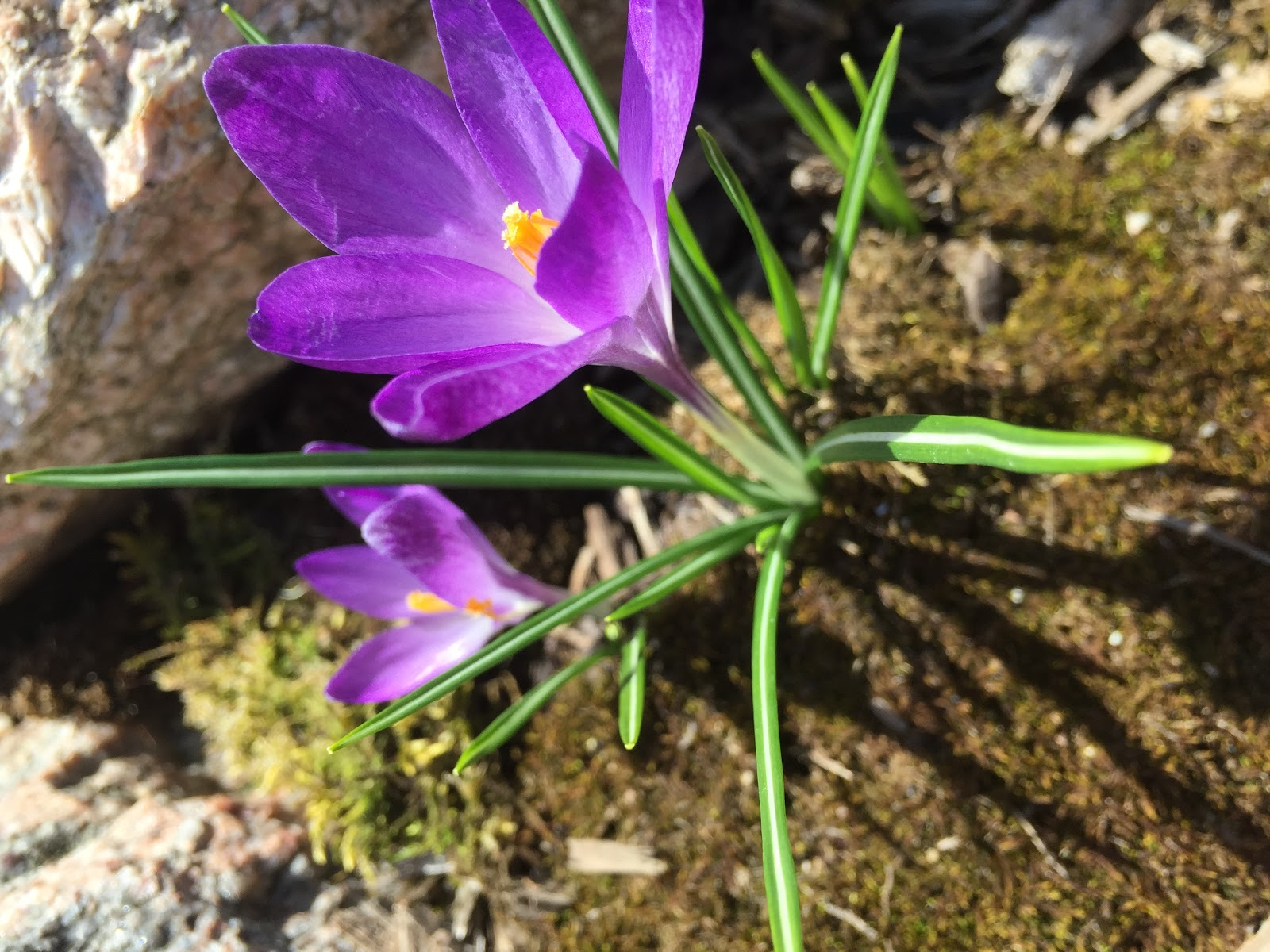 free crocus photo