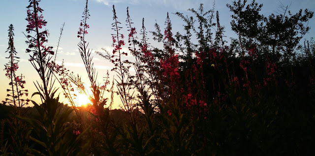 fire weed flowers and sunrise