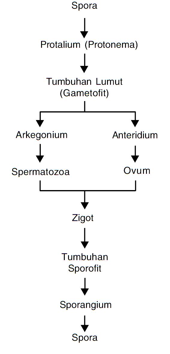 Skema Metagenesis Tumbuhan Lumut : skema, metagenesis, tumbuhan, lumut, MATERI, BIOLOGI, REMBANG:, Metagenesis, Tumbuhan, Lumut, (Bryophyta)
