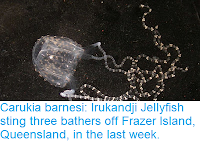 https://sciencythoughts.blogspot.com/2018/12/carukia-barnesi-irukandji-jellyfish.html